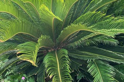 Sago Palm Pest and Disease Management 1 420x280 - The Palm Story